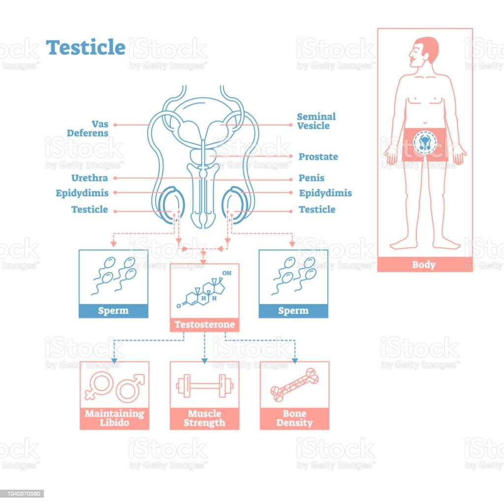 Ilustración de Testículo Parte Del Sistema Endocrino Diagrama De ...