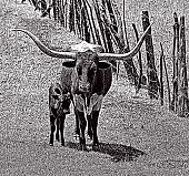 Stipple illustration of a Texas Longhorn with Calf.