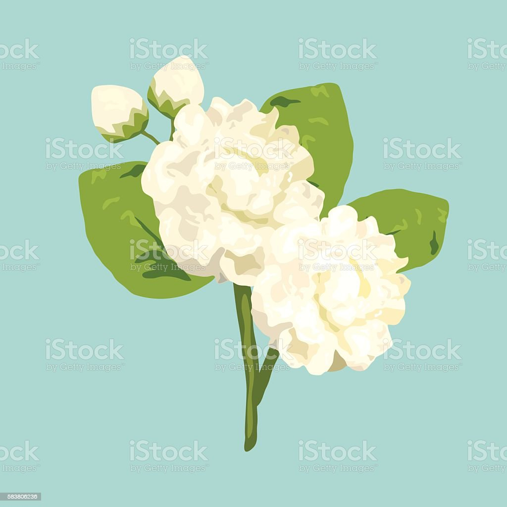 Thai jasmine flower illustration for mothers day isolated vector thai jasmine flower illustration for mothers day isolated vector royalty free thai jasmine flower izmirmasajfo