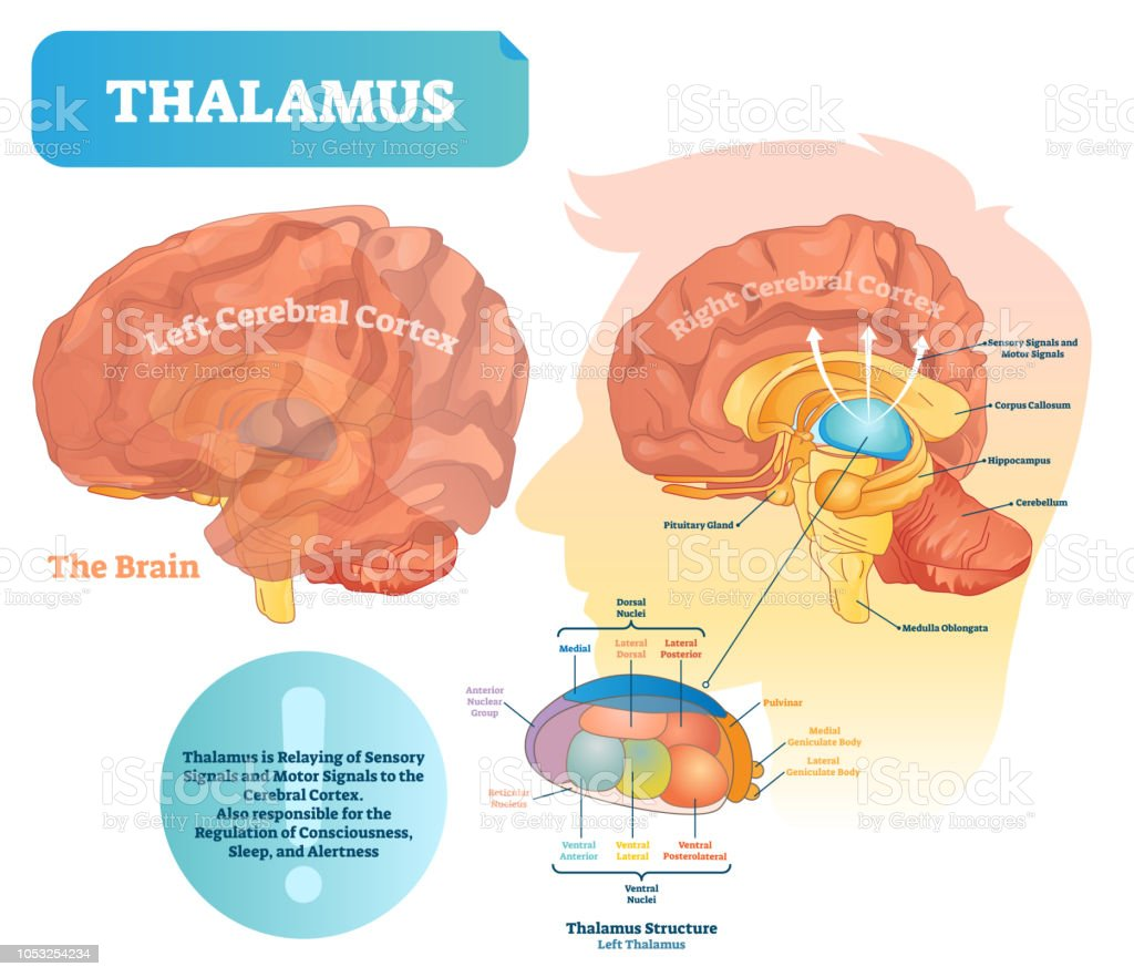 Thalamus Vector Illustration Labeled Medical Diagram With ...