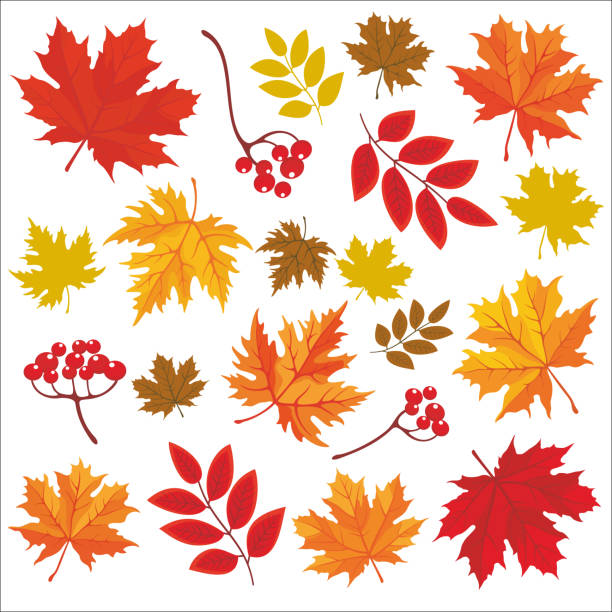 Thanksgiving Day_30 Isolated colored autumn leaves. Vector set of hand drawn llustrations on white background. maple leaf stock illustrations