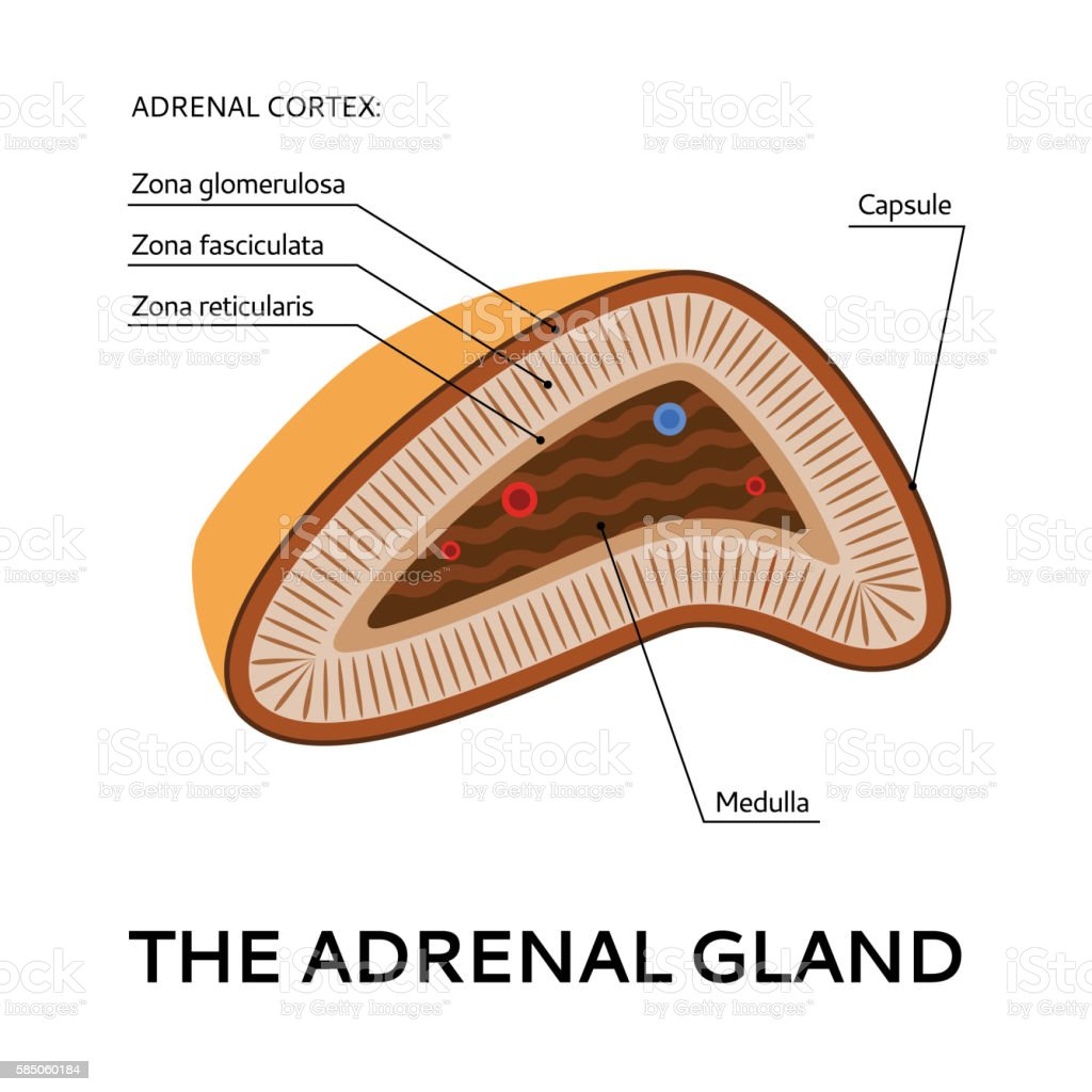 Schematic Diagram Of Adrenal Gland House Wiring Diagram Symbols