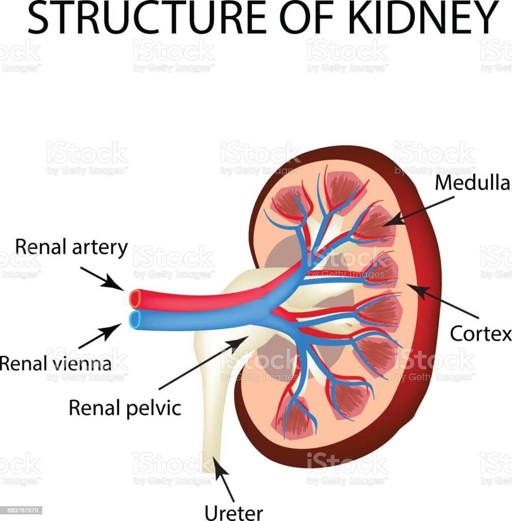 The Anatomical Structure Of Kidney Vector Illustration On Isolated