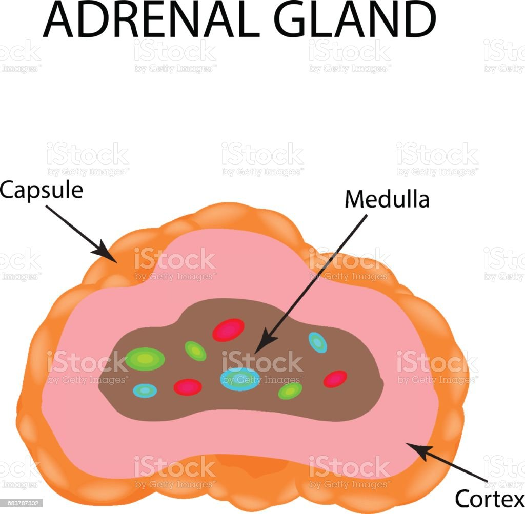 The Anatomical Structure Of The Adrenal Gland Vector Illustration
