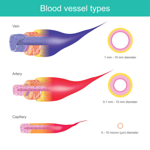 The Blood vessels in the human body are responsible for transporting corpuscle to the organ and throughout the body, These blood vessels have different sizes. vector art illustration