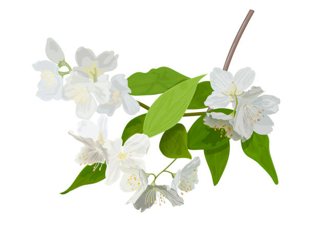 The blossoming season. Blooming tree with delicate white flowers. Twig with flower buds. The blossoming season. Blooming tree with delicate white flowers. Twig with flower buds. Green and white drawing of a awakening tree in spring. For Logo, decoration, perfumery, Linear Art. apple blossom stock illustrations