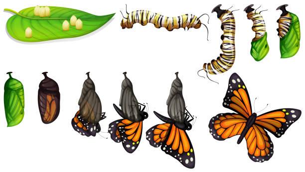 나비 수명 주기 - 누에고치 stock illustrations