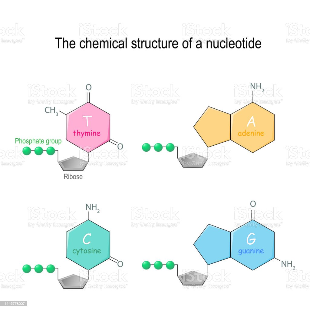 The Chemical Structure Of A Nucleotide Four Main Bases Found
