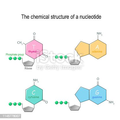 The chemical structure of a nucleotide. four main bases found in DNA: adenine, cytosine, guanine, and thymine. Phosphate group and Ribose. Vector diagram for educational, medical, biological, and scientific use