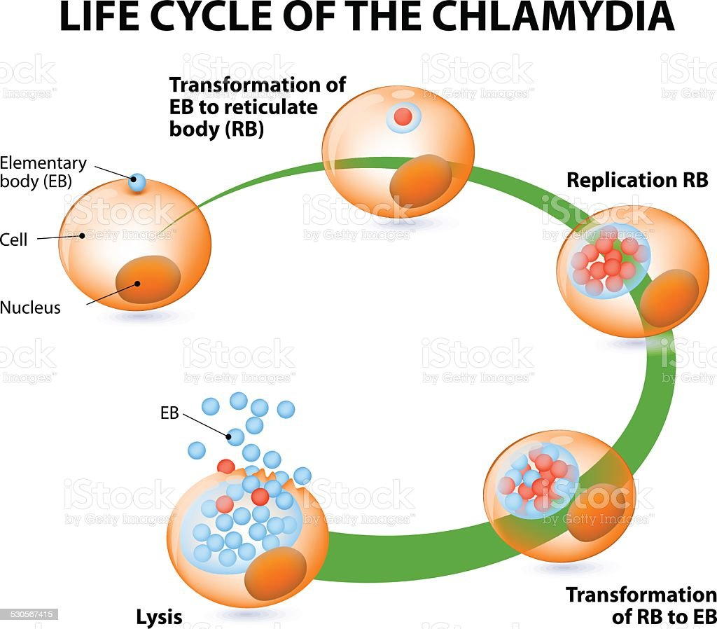 The chlamydial life cycle vector art illustration