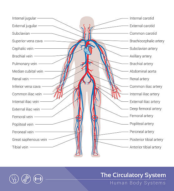 The circulatory system vector art illustration