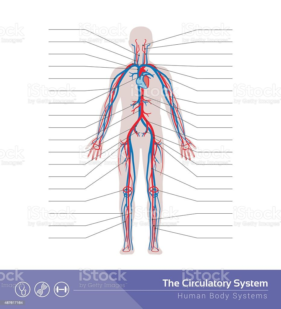 The Circulatory System Stock Vector Art More Images Of Anatomy