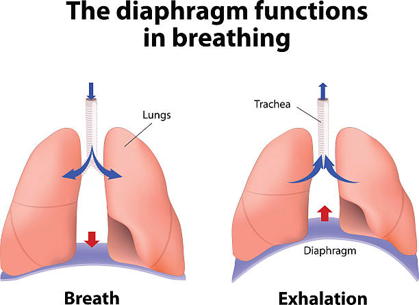 The diaphragm functions in breathing diaphragm functions in breathing. Breath and Exhalation. enlarging the cavity creates suction that draws air into the lungs smoke inhalation stock illustrations