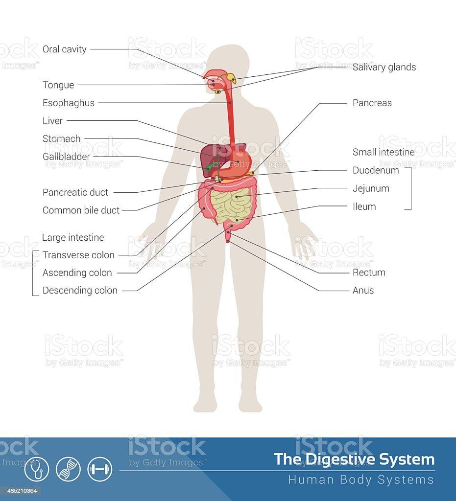 Das Verdauungssystem Stock Vektor Art und mehr Bilder von ...