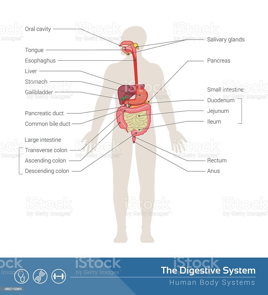 The digestive system vector art illustration