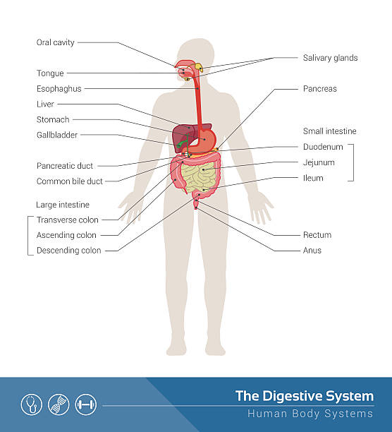 The digestive system The human digestive system medical illustration with internal organs digestive system stock illustrations