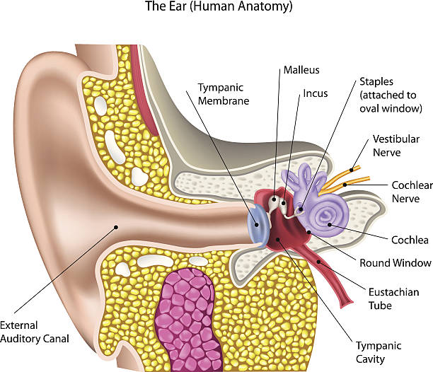 Royalty Free Eardrum Clip Art Vector Images Illustrations Istock