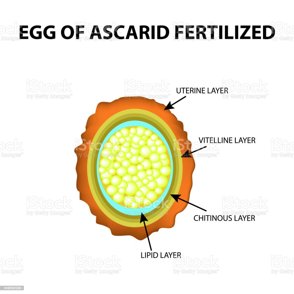The Egg Of The Roundworm Is Fertilized Structure Of Ascaris Eggs ...