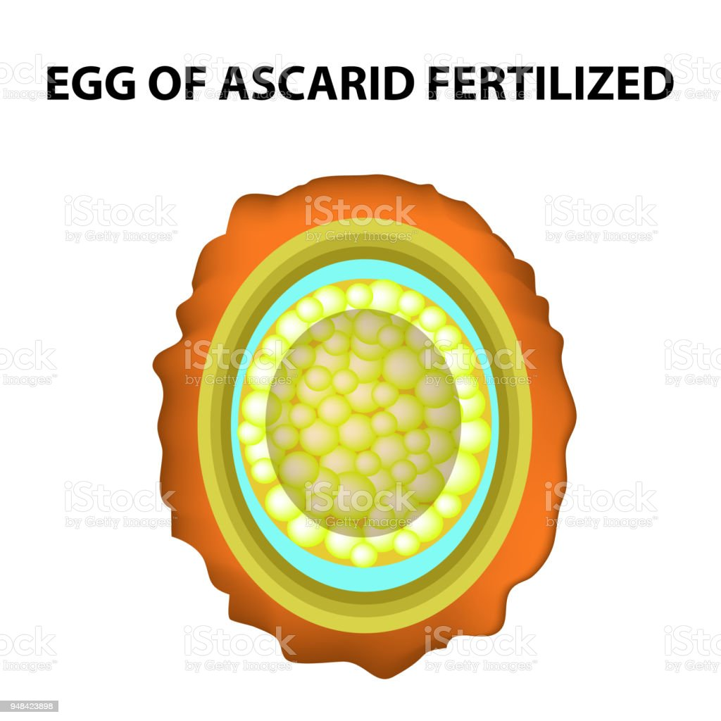 The Egg Of The Roundworm Is Fertilized Structure Of
