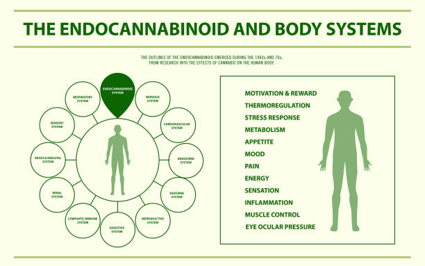 The endocannabinoid and body systems horizontal infographic The endocannabinoid and body systems horizontal infographic, healthcare and medical illustration about cannabis exocrine gland stock illustrations