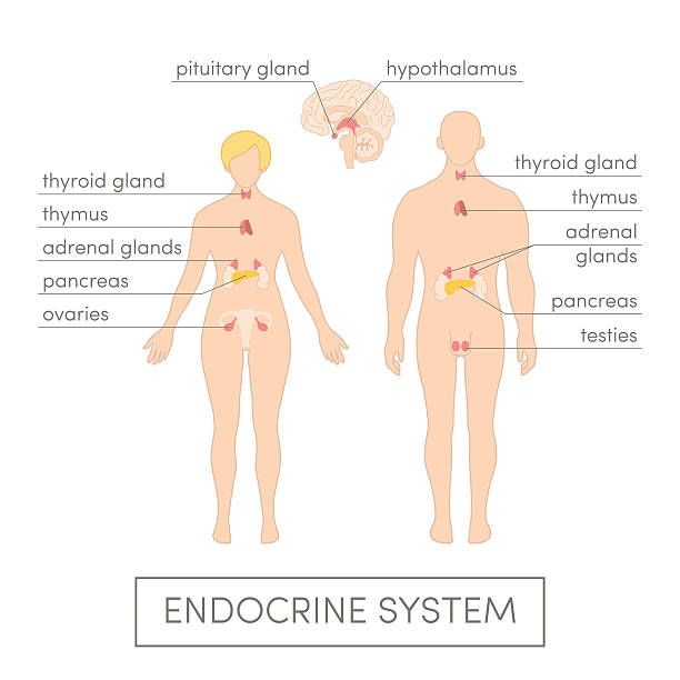 Royalty Free Endocrine System Clip Art Vector Images
