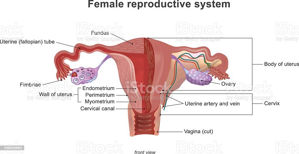 The female reproductive system vector art illustration