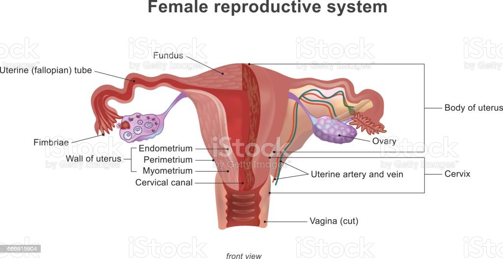 The Female Reproductive System Stock Vector Art More Images Of
