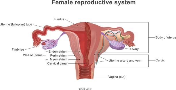 The female reproductive system The female reproductive system (or female genital system) contains two main parts: the uterus, which hosts the developing fetus, produces vaginal and uterine secretions medical diagram stock illustrations