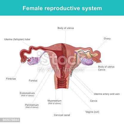Das Weibliche Fortpflanzungssystem Stock Vektor Art und mehr Bilder ...