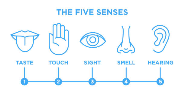 The five senses infographic vector line icons set The five human senses icons set with nose for smell, tongue for taste, hand for touch, eye for sight and ear for hearing. Blue vector infographic line style illustration isolated on white background. sensory perception stock illustrations