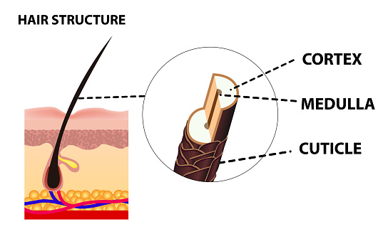 The growth and structure of human hair. Anatomy of the skin and hair. Cross section of skin layers. Detailed medical poster