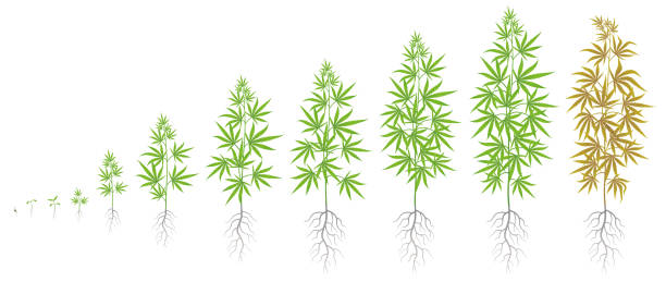 The Growth Cycle of hemp plant. Marijuana phases set. Cannabis sativa ripening period. The life stages. Weed Growing. Isolated vector illustration on white background. The Growth Cycle of hemp plant. Marijuana phases set. Cannabis sativa ripening period. The life stages. Weed Growing. Isolated infographic vector illustration on white background. Medical cannabis. marijuana stock illustrations
