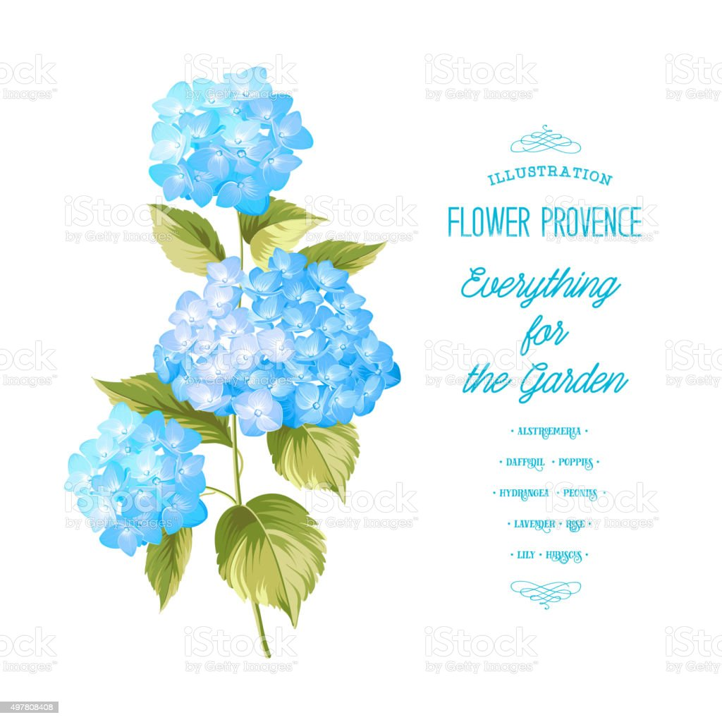 The Hortensia flower vector art illustration