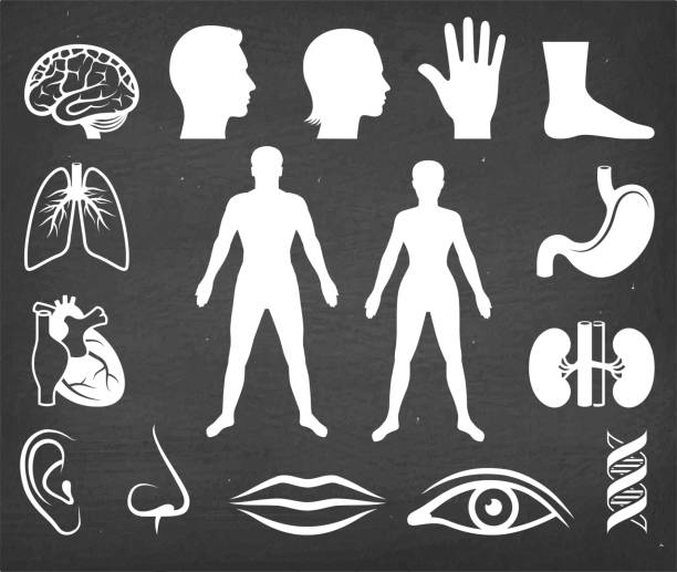 The Human Body Vector Icon Set on Black Chalkboard vector art illustration