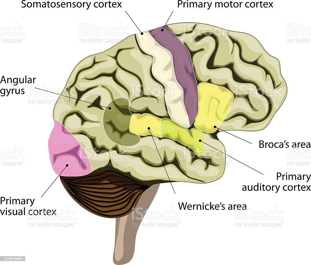 Das Menschliche Gehirn Kortikales Darstellung Der Rede Und Sprache ...
