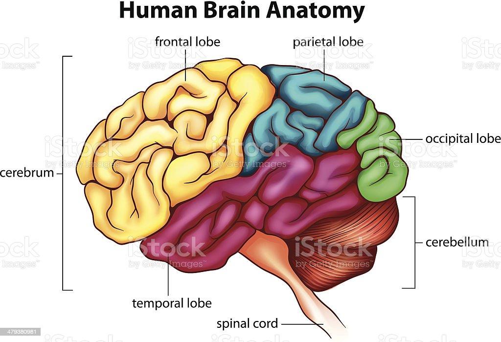 Das Menschliche Gehirn Stock Vektor Art und mehr Bilder von Anatomie ...