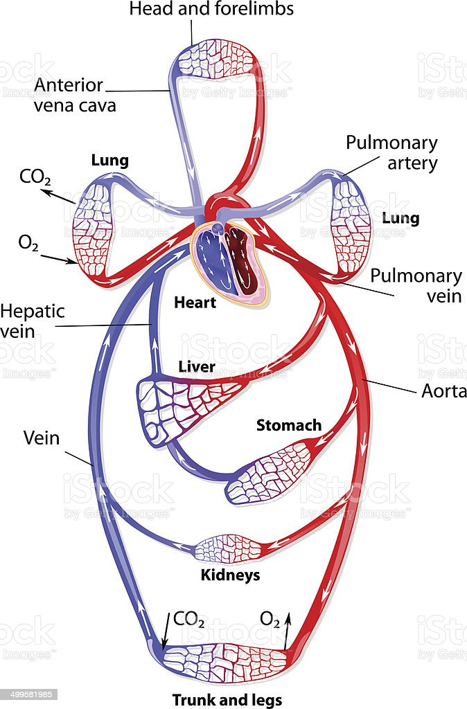 The Human Circulatory System Stock Vector Art More Images Of