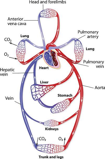 The human circulatory system vector art illustration