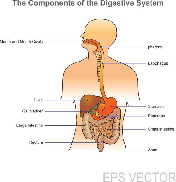 The human digestive system The human digestive system consists of the gastrointestinal tract plus the accessory organs of digestion (the tongue, salivary glands, pancreas, liver, and gallbladder). In this system, the process of digestion has many stages digestive system stock illustrations
