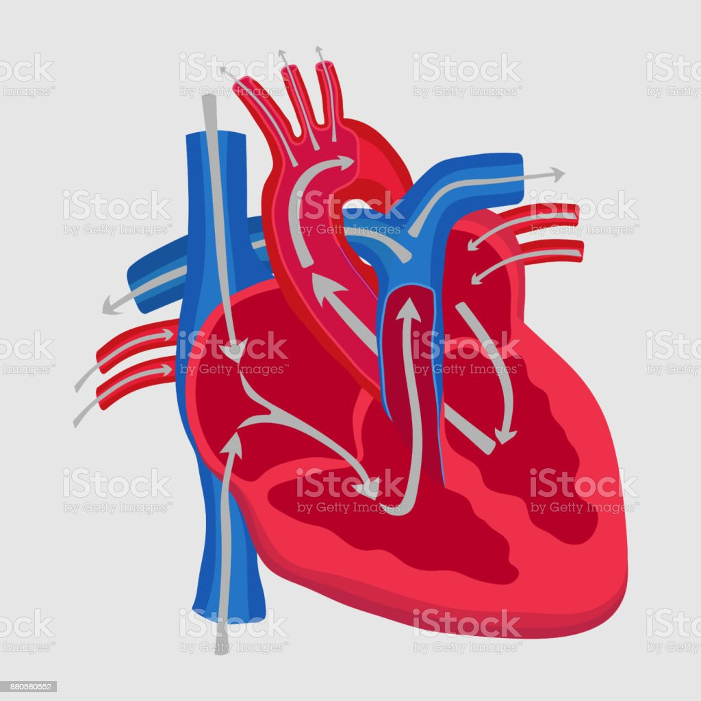 the human heart, the study of anatomy, the path of blood flow in vector art illustration