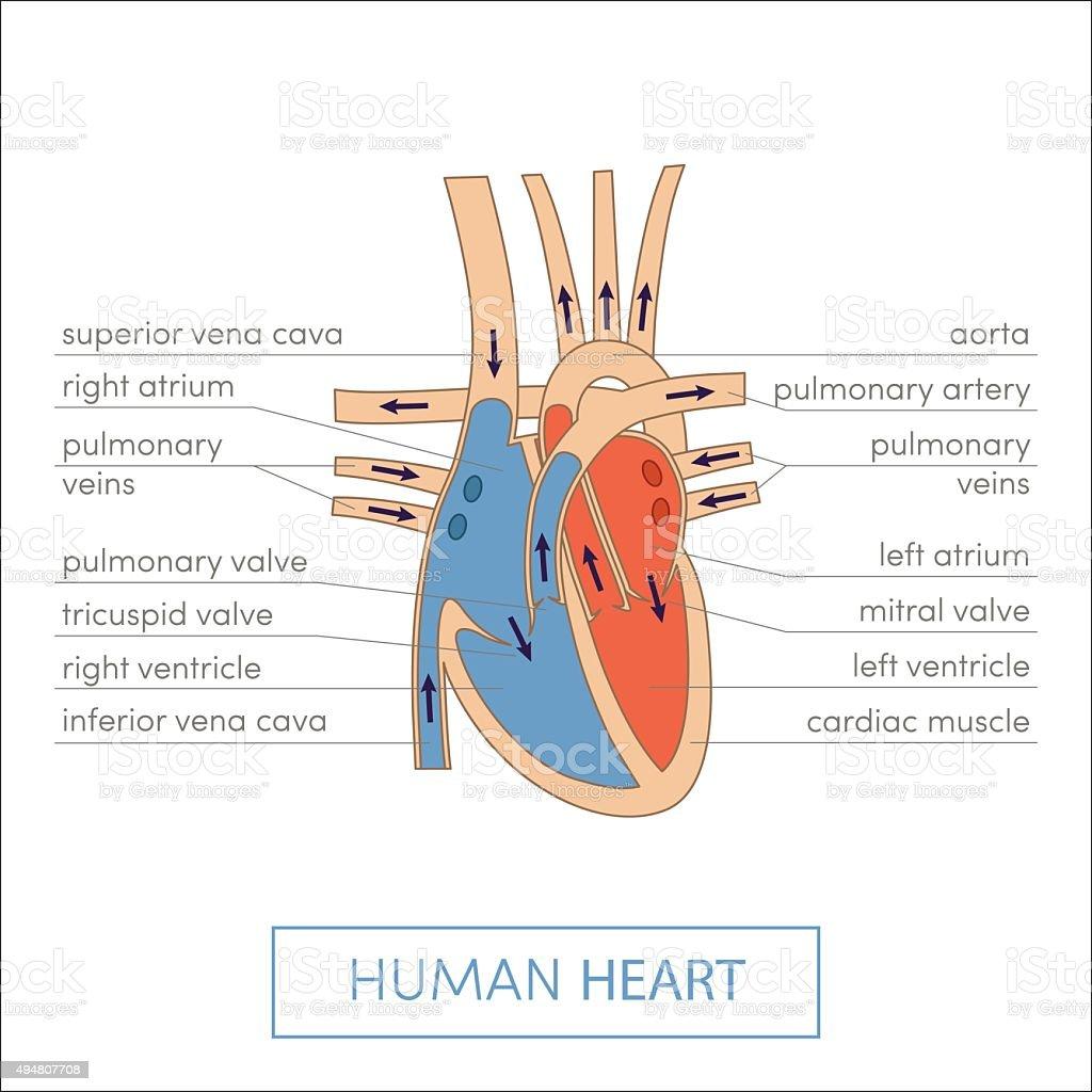 The human heart vector art illustration