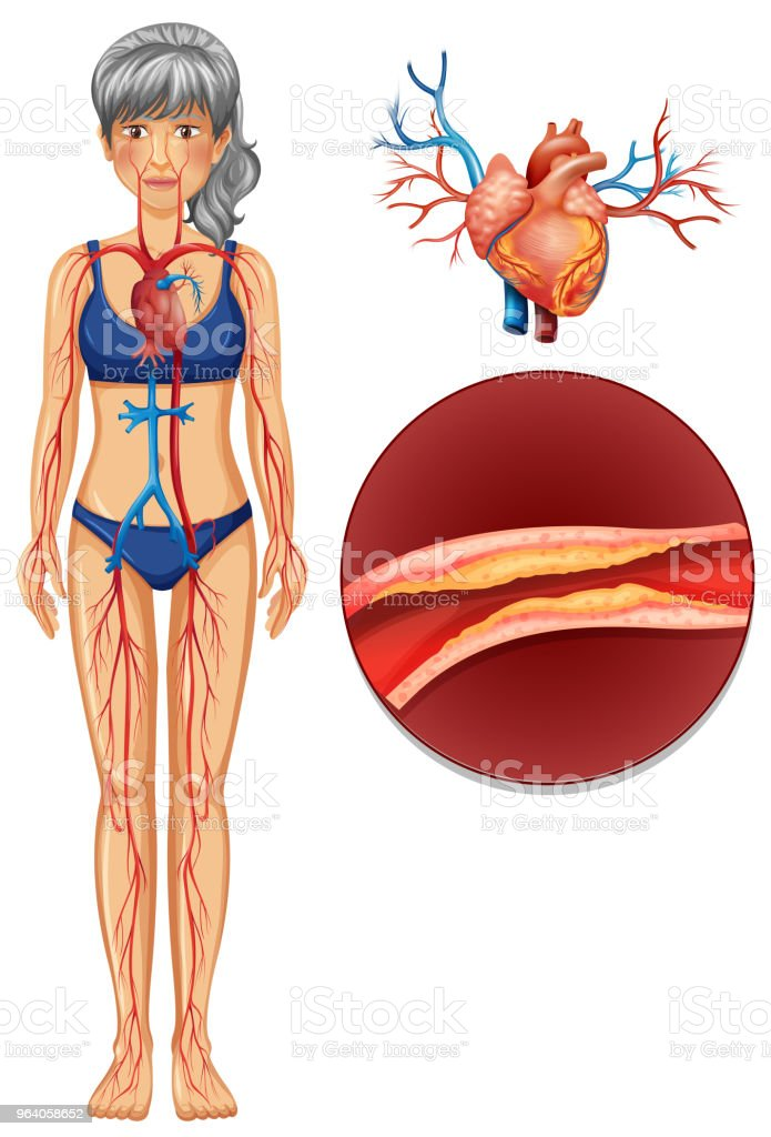 A The Human Vascular System Stock Vector Art More Images Of