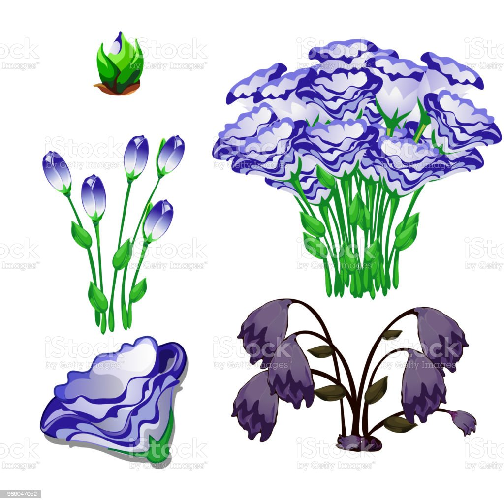 The Life Stages Of Flowers Eustoma Purple Isolated On ...