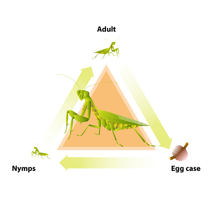 The life-cycle of mantis.