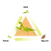 The life-cycle of mantis. Predatory insects. Eat insects for food.