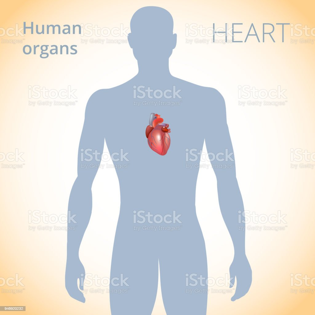 The Location Of The Heart In The Body The Human Circulatory System