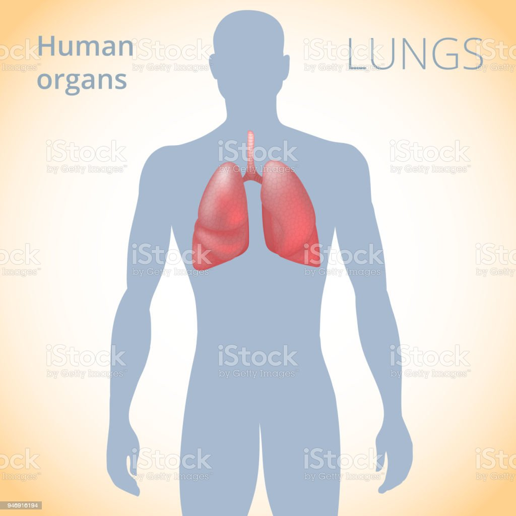 Die Lage Der Lunge In Den Krper Die Menschlichen Atemwege Stock