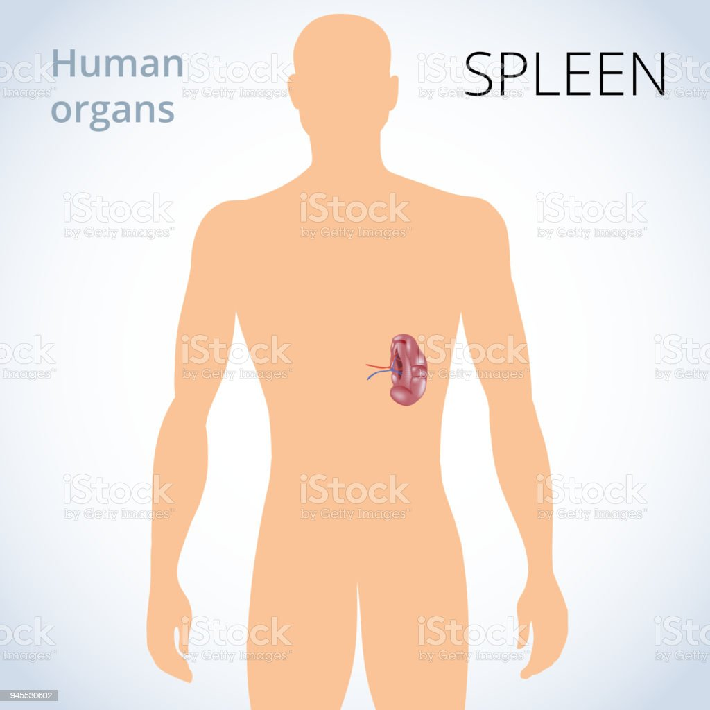 The Location Of The Spleen In The Body The Human Digestive System