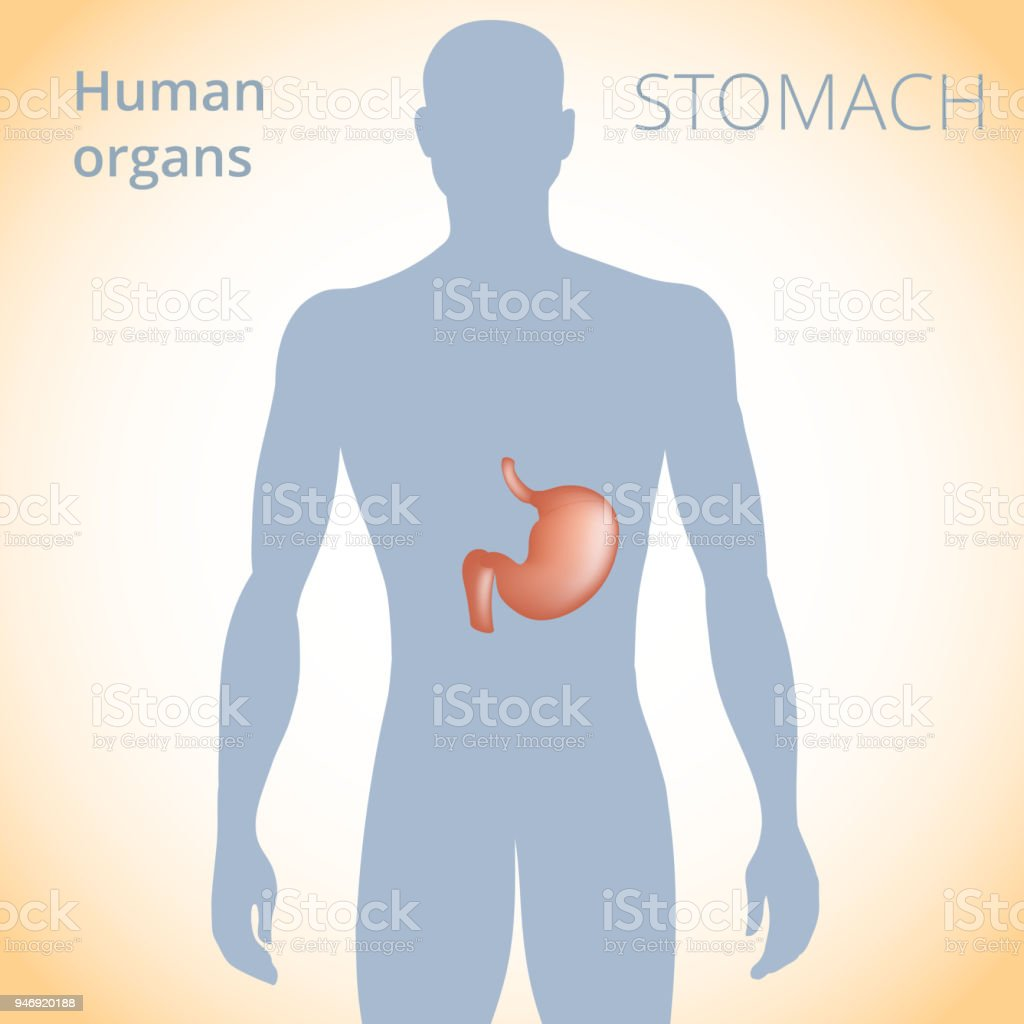 The Location Of The Stomach In The Body The Human Digestive System