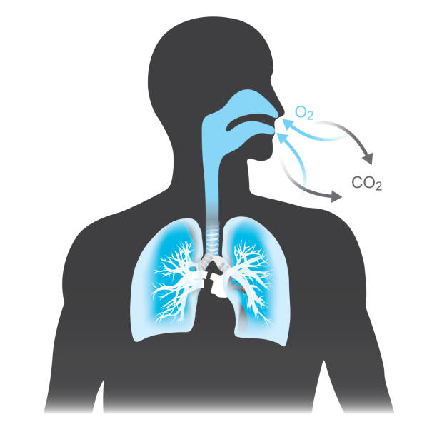 The lungs are the primary organs of respiration in humans. Mono tone black and blue colour. The lungs are the primary organs of respiration in humans. Mono tone black and blue colour. inhaling stock illustrations